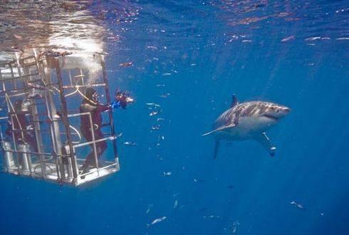 San Diego Shark Diving Expeditions California Shark